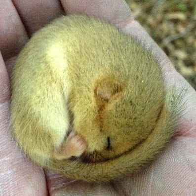 Torpid Dormouse found in a bat box near the Glandyfi A487 improvemnets